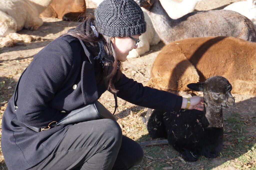 Alpaca feeding